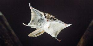 Hewan Tupai Terbang